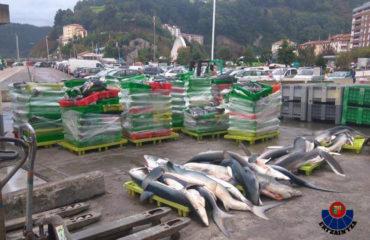 Foto desembarco tiburones Ondarroa 1