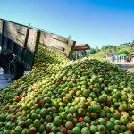 Los sidreros vascos están de enhorabuena. Este año se espera una de las cosechas de manzana de sidra más abundantes que se recuerdan. En varios manzanales ya han empezado a recoger la fruta, y en algunas sidrerías ya están prensando la manzana para extraer el mosto del que nacerá la sidra de 2021 con denominación de origen Euskal Sagardoa.